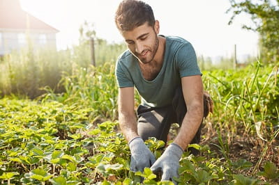 male-farmer-smiling-working-farm-plans-green-sprouts-picking-vegetab